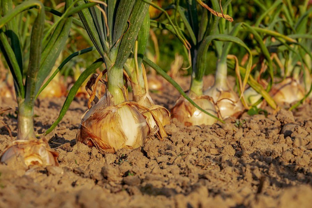 Cómo plantar cebollas
