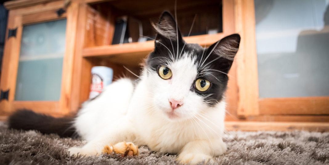 Enfermedades que trasmiten los gatos