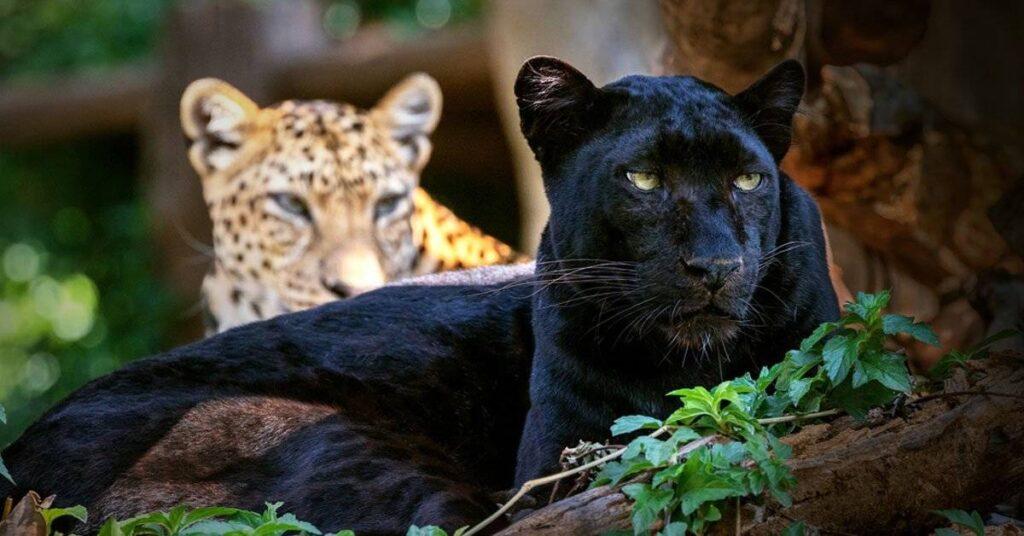 Datos curiosos de felinos salvajes